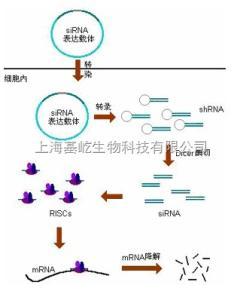 siRNA干扰检测服务产品图片